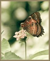 Butterfly by MarcGerard