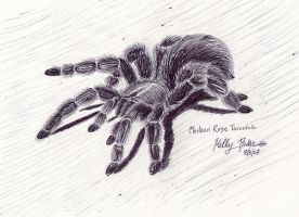Chilean Rose Tarantula by Moundfreek
