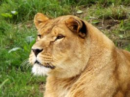 2014 - African lioness 23 by Lena-Panthera