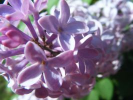 Lilacs by tom-girl5973