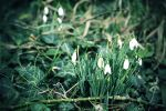 Snowdrops by LorrieWhittington