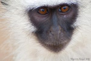 Vervet Eyes by MJWallace