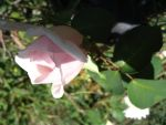 pink rose bud 1 by thiselectricheart