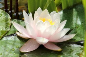 Water Lily with Lily Pads by I-Heart-Photos