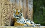 Bengal Tiger 2 MZ11108 by hoboinaschoolbus