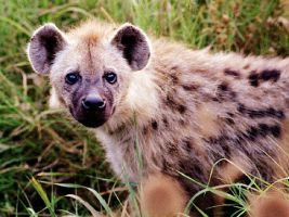 hyena by Demon-Nightshade