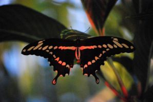 swallowtail butterfly 1 by meihua-stock