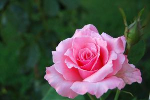 Rose by esee