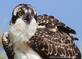 Female Osprey, juvenile by FForns