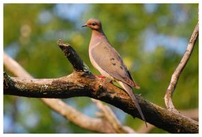 mourning dove morning by photom17
