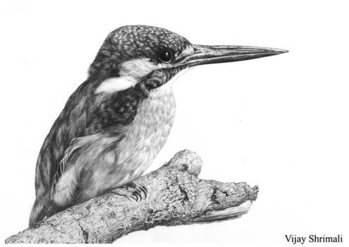 king fisher by vijayshrimali-art