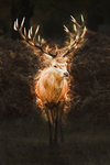 Red deer by Nianna01