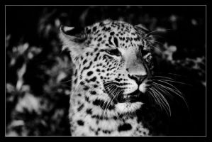 Panther Portrait. by sekhmet-neseret