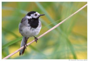 White Wagtail by Swordtemper