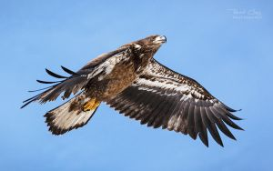 .:Soaring Eagle:. by RHCheng