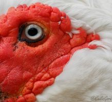 Eye of the Muscovy by CailinGore