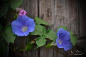 Morning Glories II by AppareilPhotoGarcon