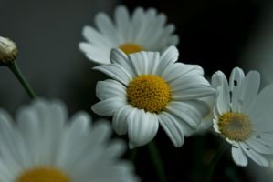 and again daisies by JuliaGeisler