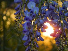 Wisteria And Sunset by JoAnneVance