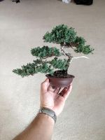 Juniper bonsai tree by Ken To by KenToArt