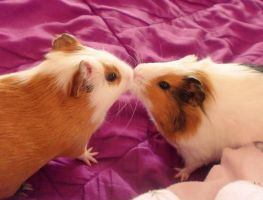 Guinea Pig Nose Kiss by Naneia