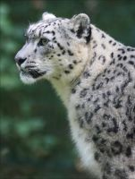 Snow leopard VI by Parides