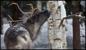 Reindeer by meowesty