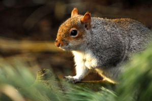 Grey Squirrel by Shadow-and-Flame-86
