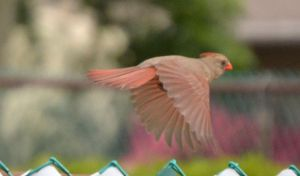 Female Cardinal 6 by Noble-Kenshi