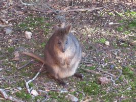Pademelon by molbags