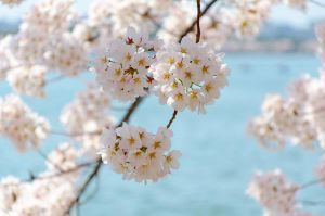 Cherry Blossom Festival 10 by FairieGoodMother