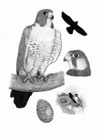 Peregrine Falcon Illustration by Scribble-Chick
