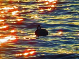 Scoter Swimming In Rubies by wolfwings1