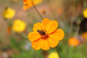 Little bee in yellow flower by Praveenfca