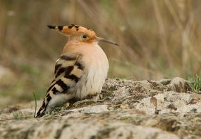 Just Chillin -Eurasian Hoopoe by Jamie-MacArthur