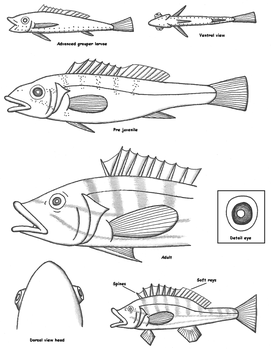 fish guides on animal-anatomy
