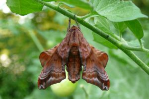 Blinded Sphinx Moth - Back view by BiKittyJ