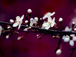 Cherry tree by Black-beads