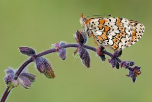 heath fritillary by MartinAmm