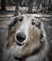 Wide Angle Collie Face by Zoso1024