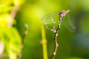 Seaside Dragonlet on a twig by CyclicalCore