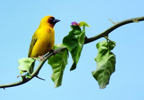 Masked Weaver by bad95killer