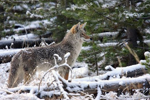 Winter Coyote by ThisWomanWanders