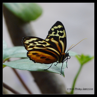 Honey Colored Butterfly by Mogrianne