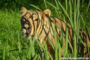 Ligeress: Lioness with Stripes by amrodel