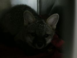 Baby Gray Fox 4 by Windthin