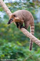 South American Coati by amrodel