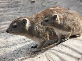 Hyraxes. Are. CUTE. by SplashKittyPhotos