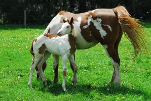 Paint mare and foal at one month by elusiveelegance