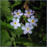 Forget-Me-Not by JoannaMoory